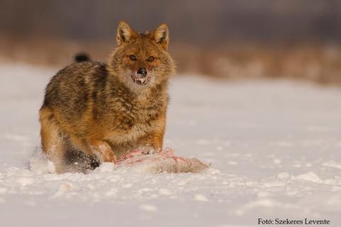 aranysakál (Canis aureus)